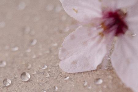 花見 濡れない