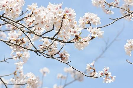 香川県 桜 名所