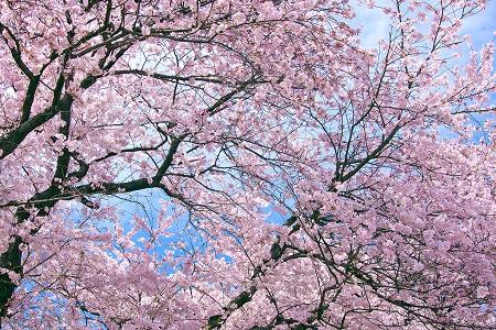 奈良県 桜 名所