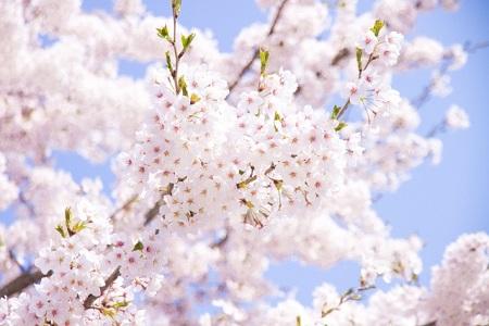 長野県 桜