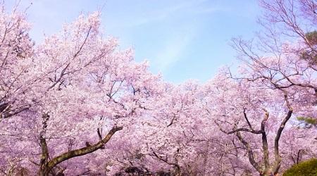 岡山県 桜 名所